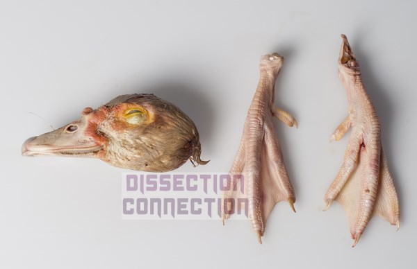 duck head and feet set from Dissection Connection