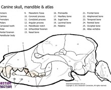 Canine Skull Anatomical Colouring-in Worksheet