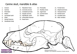 canine skull anatomical colouring