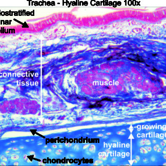 Trachea Hyaline Cartilage 100x Dissection Connection