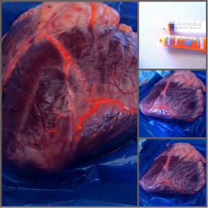bovine heart with paint injected into the vascular system