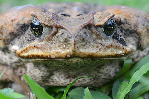 By Geoff Gallice from Gainesville, FL, USA (Cane toad portrait)